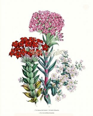 Crassula, Centaury-like; Scarlet Kalosanthes